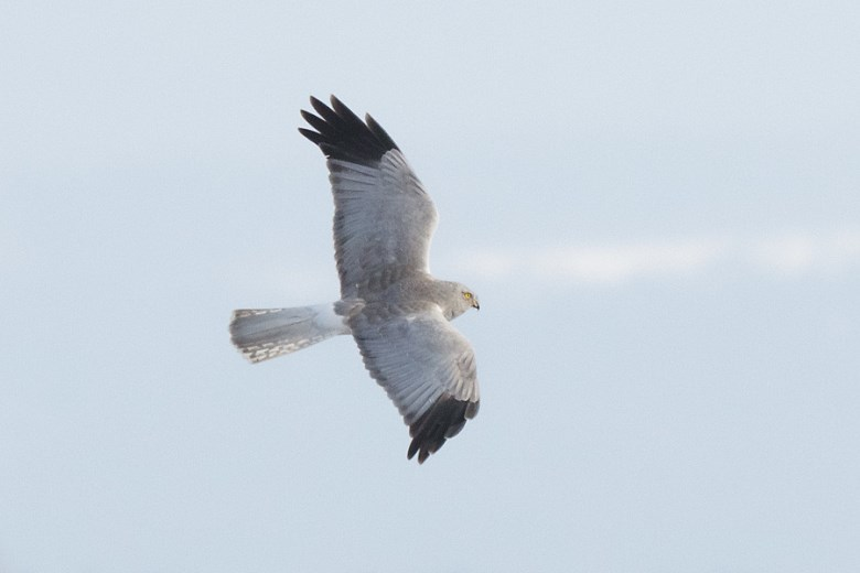 Hen Harrier Male Flying